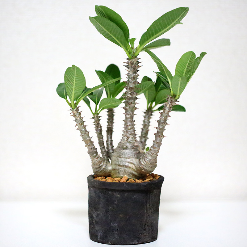 【Pachypodium baronii var. windsorii】