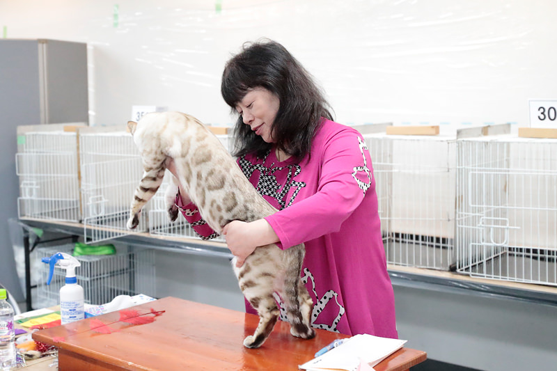 【だいちゃん】TICA(Internatilnal Cat Association) Snowbengal Seal Spotted Lynx Point