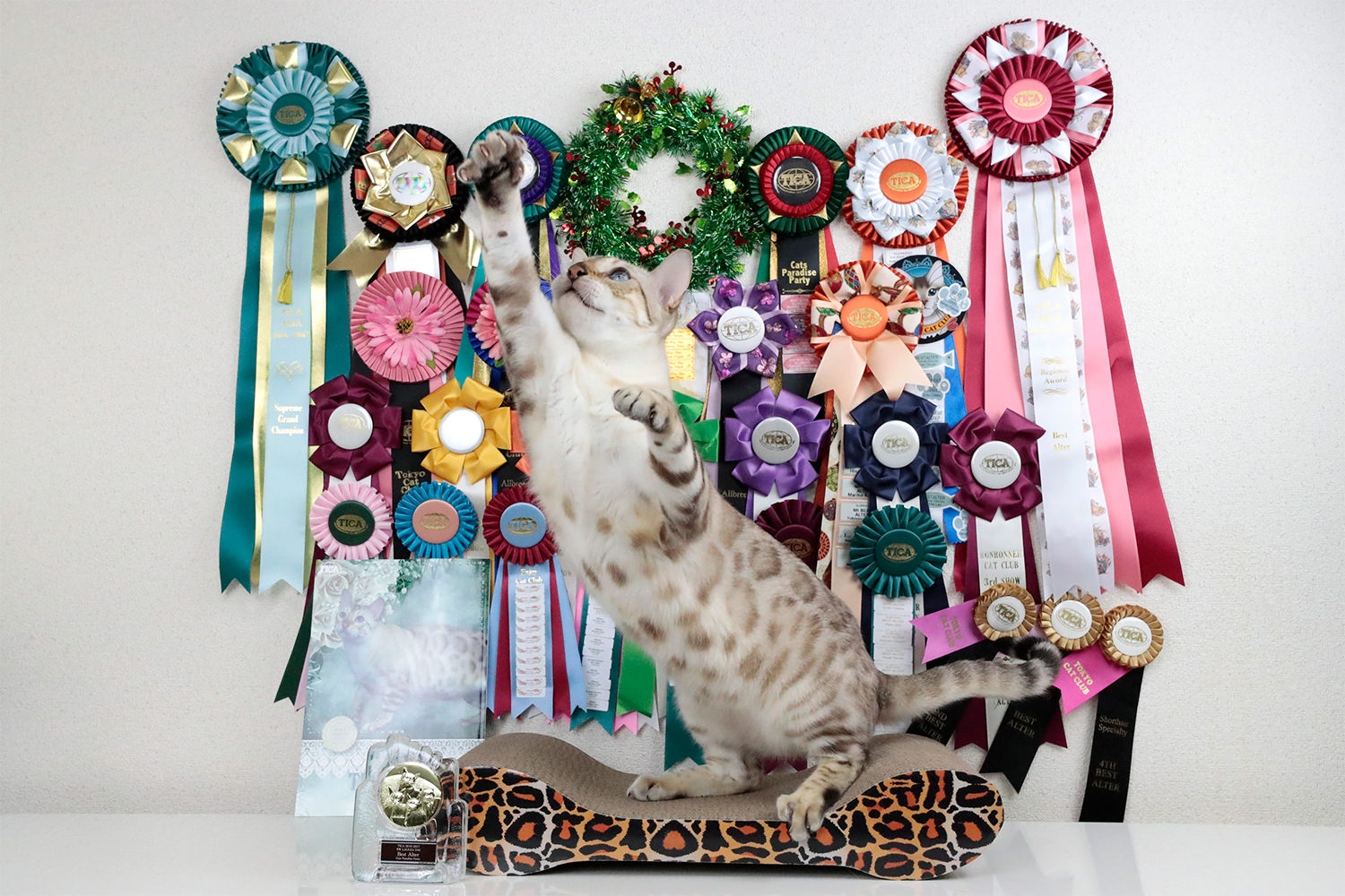 【2016-2017 BEST BENGAL ALTER OF THE YEAR】Snowbengal