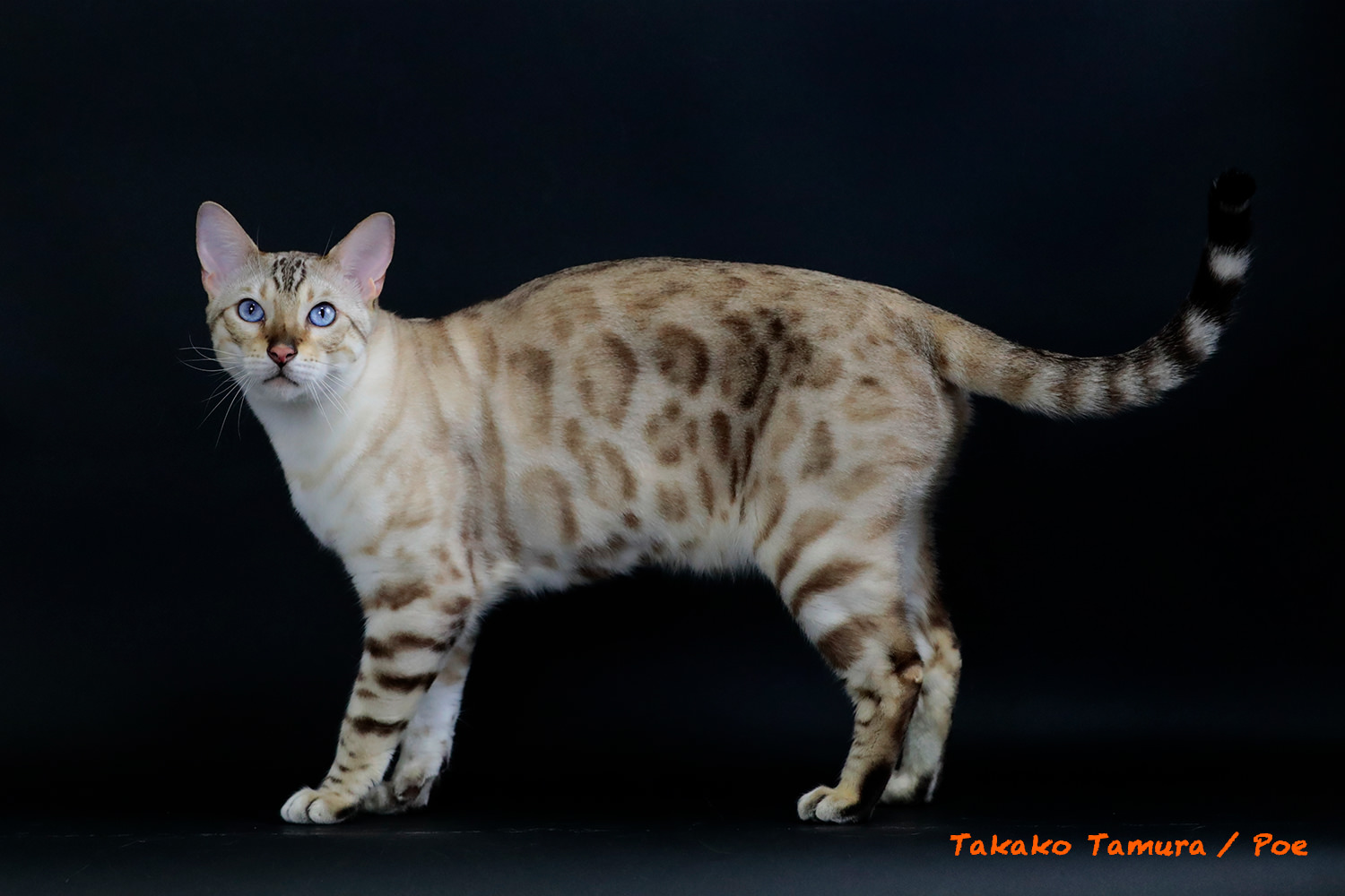 【2017 BEST BENGAL ALTER OF THE YEAR】Snowbengal