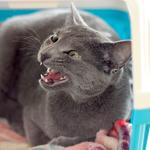 【猫の避妊・去勢手術】ふうちゃん抜糸をしに病院へ行く!! いや、病院には私が行きます・・・