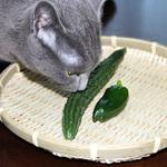 【家庭菜園】きゅうりとピーマン収穫したよ〜!!
