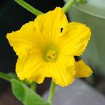 【家庭菜園】かぼちゃの人工授粉|緑のカーテン(ゴーヤ)|いろんな花が咲きました♪