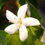 【コーヒー栽培】コーヒーの花が咲いたよ♪