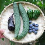 【家庭菜園】今日の収穫(6月25日)きゅうり・ピーマン・ブルーベリー|コーヒー栽培日記
