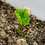 【家庭菜園】今日の収穫(7月7日)|双葉が開き始めたよ!! コーヒー栽培日記