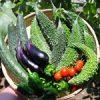 【家庭菜園】今日の収穫(7月11日)沢山収穫できたよ〜!!|コーヒー栽培日記