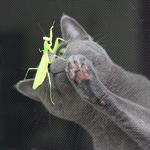 【猫の病気】あおちゃん アトピー性皮膚炎 闘病生活 2ヶ月経過(免疫抑制剤・ロシアンブルー)