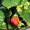 【家庭菜園】い〜ちごぉ〜♪