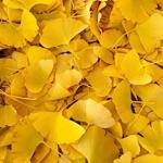 イチョウと胃腸と一応・・・黄色で・・・