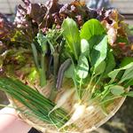 今日の収穫と少し春が近づいて|【家庭菜園】今日の収穫♪リーフレタス・カイラン・ネギ・二十日大根を収穫したよ♪