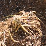 【家庭菜園】アスパラガスを植えたよ♪|日本の農業とTPP(4)