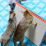 【猫グッズ】楽しく爪とぎ〜♪|日本の農業とTPP(5)