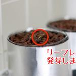 【水耕栽培】リーフレタス発芽しました!!|日本の医療とTPP(5)