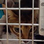 【猫の病気】ふうちゃん動物病院へ行く(結膜炎)|日本の医療とTPP(20)