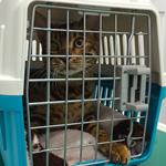 【猫の避妊・去勢手術】りくたんの去勢手術無事終了|日本の医療とTPP(21)