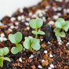 【家庭菜園】野菜が発芽したよ〜♪|日本の医療とTPP(22)