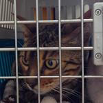 【猫の避妊・去勢手術】かいちゃん(ベンガル)の避妊手術