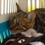 【猫の避妊・去勢手術】くうちゃん(ベンガル)の避妊手術|日本の医療とTPP(41)