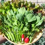 【家庭菜園】今日の収穫・赤丸二十日大根・枝豆の種まき♪|日本の医療とTPP(42)