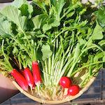お花の匂いをクンクン♪|【家庭菜園】今日の収穫♪赤丸二十日大根・ラディッシュ・水菜・リーフレタスを収穫したよ♪|日本の医療とTPP(46)