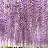 藤まつりに行ってきたよ♪曼陀羅寺公園(愛知県江南市)|チーム茶色