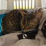 【猫の避妊手術】抜糸 かい・くうちゃん(ベンガル猫)