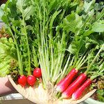 【家庭菜園】今日の収穫♪|日本の農業とTPP(14)