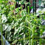 くぅ〜暑すぎる!!|【家庭菜園】エダマメを定植・スイスチャードの育て方♪