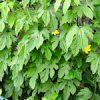 月曜日の猫ちゃん|【家庭菜園】緑のカーテン・ナス・トマト大きくなってきたよ♪