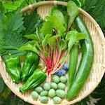 今日も一狩り行こうぜ!|【家庭菜園】今日の収穫♪青じそ・スイスチャード・きゅうり・島オクラ・プチきゅ~・ブルーベリーを収穫したよ♪