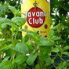 猫の井戸端会議|【家庭菜園】今日の収穫♪ゴーヤ・バジル・中玉トマト・いちご・なす・四角豆を収穫したよ♪