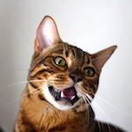 【猫の病気】りくたんのハァハァ|【家庭菜園】小玉スイカを食べたよ〜♪