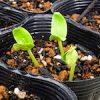 【家庭菜園】秋に向けて〜野菜が発芽したよ♪