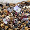 夕やけニャンニャン♪|【家庭菜園】ヨーロッパ野菜研究栽培部:コールラビ(紫)が発芽したよ♪