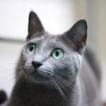 【ロシアンブルー】新たな猫に怒るあおちゃん!?