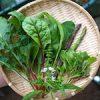 【家庭菜園】フェンネルを定植したよ♪・今日の収穫♪