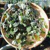 【家庭菜園】キャットニップを収穫したよ♪