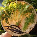 【家庭菜園】今日の収穫♪・紫インゲンを収穫したよ♪