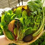 【家庭菜園】今日の収穫♪|アーティーチョークを定植したよ♪