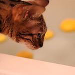 今日は冬至(朔旦冬至)〜柚子風呂に入るにゃ〜♪