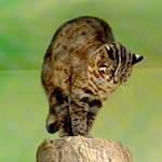 【消えゆくネコ科動物を守ろう】ツシマヤマネコを守ろう!! 今日のツシマヤマネコ(東山動物園)|【艦これ】ピザハット泊地 提督補給作戦 ピザを補給して報酬を獲得せよ!