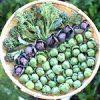 かいちゃんの猫ジャ〜ンプ!!|今日の収穫♪ 緑・紫芽キャベツ・コールラビ・ルッコラを収穫したよ♪|世界保健機関(WHO)が1日の砂糖摂取量ガイドラインを更新 1日1本ジュースを飲むだけでアウト?・日本の医療とTPP(56)