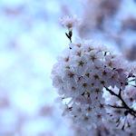 皆既月食(4月4日)まであと5日♪|桜満開♪
