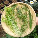 今日はそらちゃんの誕生日♪|【家庭菜園】今日の収穫 鰹とコリアンダーのカルパッチョを作ったよ♪|【夏まで待てない】スペアミントでミント酒を作ろう スペアミントの種まきしたよ♪