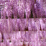 【藤まつり】あなたに伝えたい!藤の花 天王川公園(愛知県津島市)に行ってきたよ♪