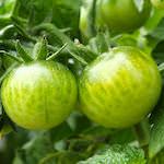【家庭菜園】夏野菜が大きくなってきたよ♪|【猫グッズ】猫じゃらし cascione クレイジーゾーンを注文したよ♪