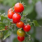 【家庭菜園】夏野菜の収穫間近だよ~♪|【【猫の健康】ペットフードの歴史・アレルギー症状とペットフードについて考える