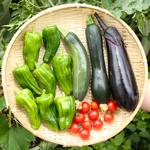 【今日の収穫】夏野菜 イタリアンズッキーニ・ズッキーニ・ピーマン・なす・ミニトマトを収穫したよ♪