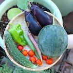 【家庭菜園】小玉スイカ(わんぱくブラック)を収穫したよ♪|あおちゃんのお気に入り♪ Sincere Japan ラタンビーンズベッドいいね〜♪